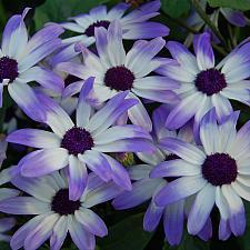 PERICALLIS hybrid 'Senetti Light Blue Bicolor',