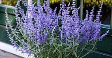 PEROVSKIA atriplicifolia 'Lacey Blue', Dwarf Russian Sage