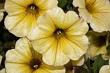 PETCHOA Supercal 'Light Yellow', Supercal Series Petchoa