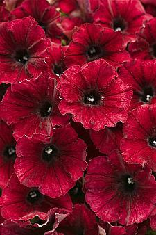 PETUNIA Supertunia 'Black Cherry', Supertunia Petunia