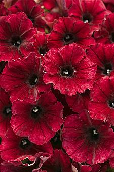 PETUNIA Supertunia 'Black Cherry', Supertunia Petunia
