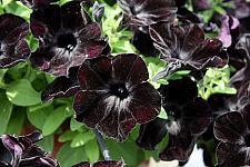PETUNIA Crazytunia 'Black Mamba', Crazytunia Petunia