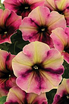 PETUNIA Crazytunia 'Blackberry Cheesecake', Crazytunia Petunia