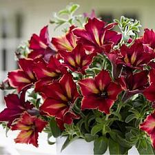 PETUNIA Crazytunia 'Mandeville', Crazytunia Petunia