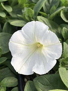 PETUNIA Supertunia 'Mini Vista White', Supertunia Petunia