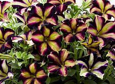 PETUNIA Crazytunia 'Pulse', Crazytunia Petunia