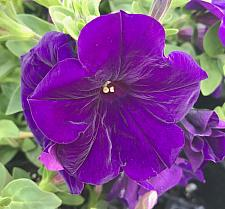 PETUNIA Supertunia 'Royal Velvet', Supertunia Petunia