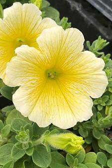 PETUNIA x hybrida Ray 'Sunshine', Ray Series Petunia