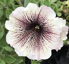 PETUNIA Supertunia 'Latte', Supertina Petunia