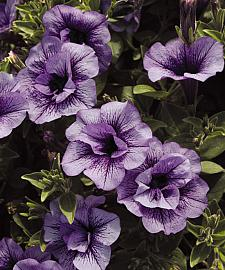 PETUNIA Supertunia 'Priscilla', Supertunia Petunia