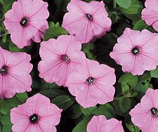 PETUNIA Supertunia 'Vista Bubblegum', Supertunia Petunia