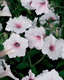 PETUNIA Supertunia 'Vista Silverberry', Supertina Petunia