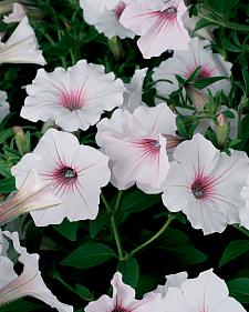 PETUNIA Supertunia 'Vista Silverberry', Supertina Petunia