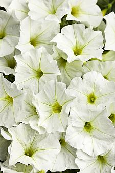 PETUNIA Supertunia 'White', Supertunia Petunia
