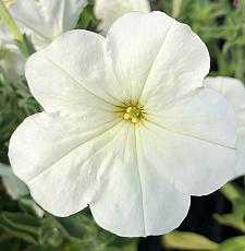 PETUNIA axillaris, Wild White Petunia