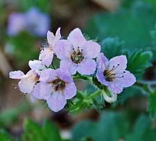 PHACELIA tanacetifolia, Lacy Phacelia, Blue Tansy