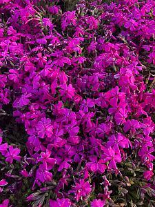 PHLOX subulata 'Crimson Beauty', Moss Pink, Moss Phlox or Mountain Phlox