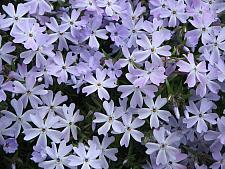 PHLOX subulata 'Emerald Cushion Blue', Moss Pink, Moss Phlox or Mountain Phlox