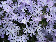 PHLOX subulata 'Emerald Cushion Blue', Moss Pink, Moss Phlox or Mountain Phlox