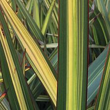 PHORMIUM 'Apricot Queen', New Zealand Flax, Flax Lily