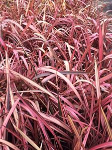 PHORMIUM 'Best Red', New Zealand Flax, Flax Lily