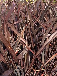 PHORMIUM tenax 'Bronze Baby', New Zealand Flax, New Zealand Hemp, Flax Lily