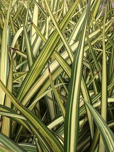 PHORMIUM colensoi 'Cream Delight', New Zealand Flax