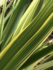 PHORMIUM 'Duet', New Zealand Flax, Flax Lily