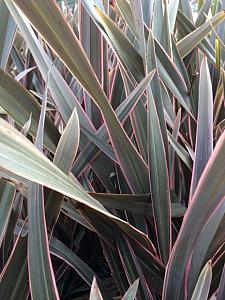 PHORMIUM tenax 'Pink Stripe', New Zealand Flax, New Zealand Hemp, Flax Lily