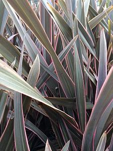 PHORMIUM tenax 'Pink Stripe', New Zealand Flax, New Zealand Hemp, Flax Lily