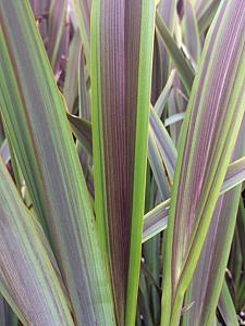 PHORMIUM 'Sea Jade', New Zealand Flax, Flax Lily