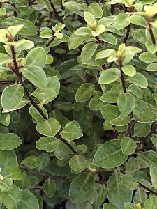 PITTOSPORUM tenuifolium 'Elfin', Tawhiwhi