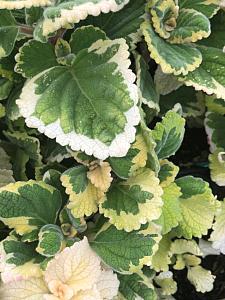 PLECTRANTHUS ciliatus 'Lemon Twist',