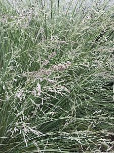 POA colensoi, Blue Tussock, New Zealand Tussock Grass