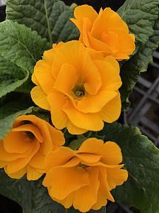 PRIMULA vulgaris Primlet 'Golden Shades', Primrose, English Primrose