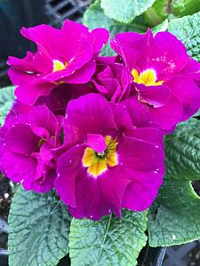 PRIMULA vulgaris Primlet 'Purple', Primrose, English Primrose