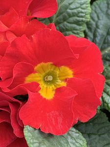 PRIMULA vulgaris Primlet 'Scarlet', Primrose, English Primrose