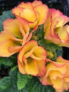 PRIMULA vulgaris Primlet 'Sunrise', Primrose, English Primrose