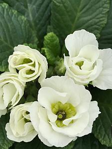 PRIMULA vulgaris Primlet 'White', Primrose, English Primrose