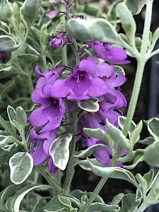 PROSTANTHERA ovalifolia 'Variegata', Australian or Variegated Mint Bush