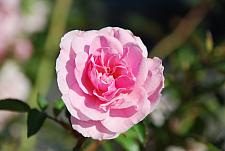 ROSA 'Bonica' ('Bonica '82') (own root), Shrub