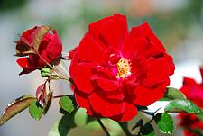 ROSA Red Ribbons (=KORtemma) (own root), Shrub