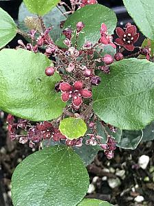 RIBES viburnifolium, Catalina Currant, Island Gooseberry