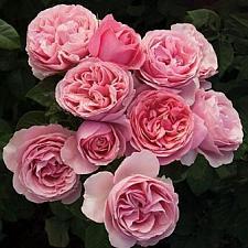 ROSA 'All Dressed Up', Grandiflora (Hybrid Tea x Floribunda)