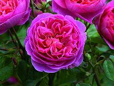 ROSA 'Boscobel' (=Auscousin), David Austin English Rose