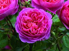 ROSA 'Boscobel' (=Auscousin) (own root), David Austin English Rose