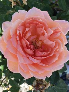 ROSA 'Carding Mill' (=Auswest) (own root), David Austin English Rose