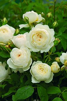 ROSA 'Claire Austin' (=Ausprior) (own root), David Austin English Rose
