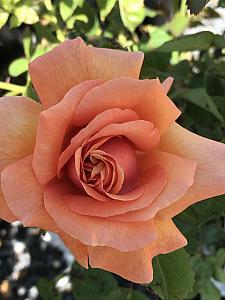 ROSA 'Easy Does It', Floribunda