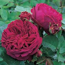ROSA 'Falstaff' (=Ausverse), David Austin English Rose